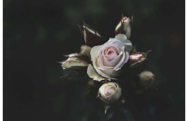 Фотообои Светлая роза