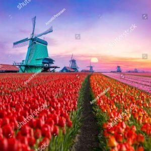 Фотообои Тюльпаны и мельница