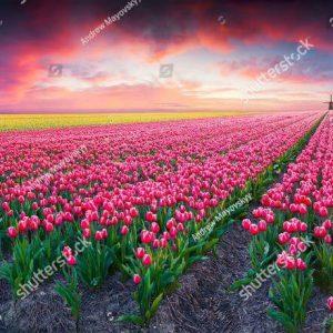 Фотообои Поле из тюльпанов